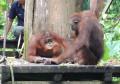 Està clar: venim del mico!