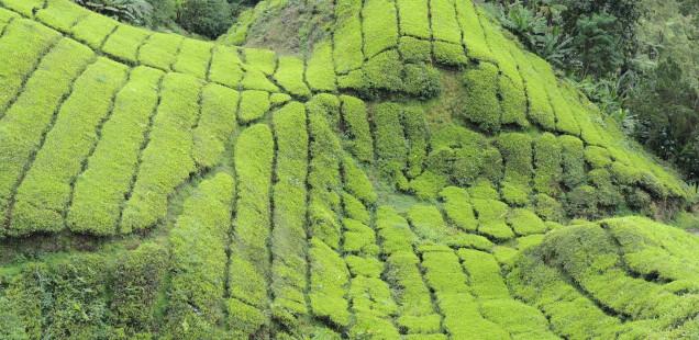 Les plantacions de te de Cameron Highlands