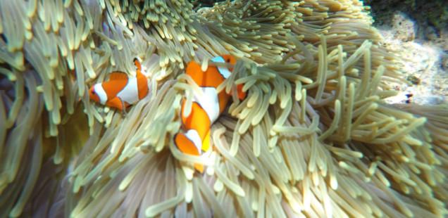 Pemuteran, trobant a en Nemo
